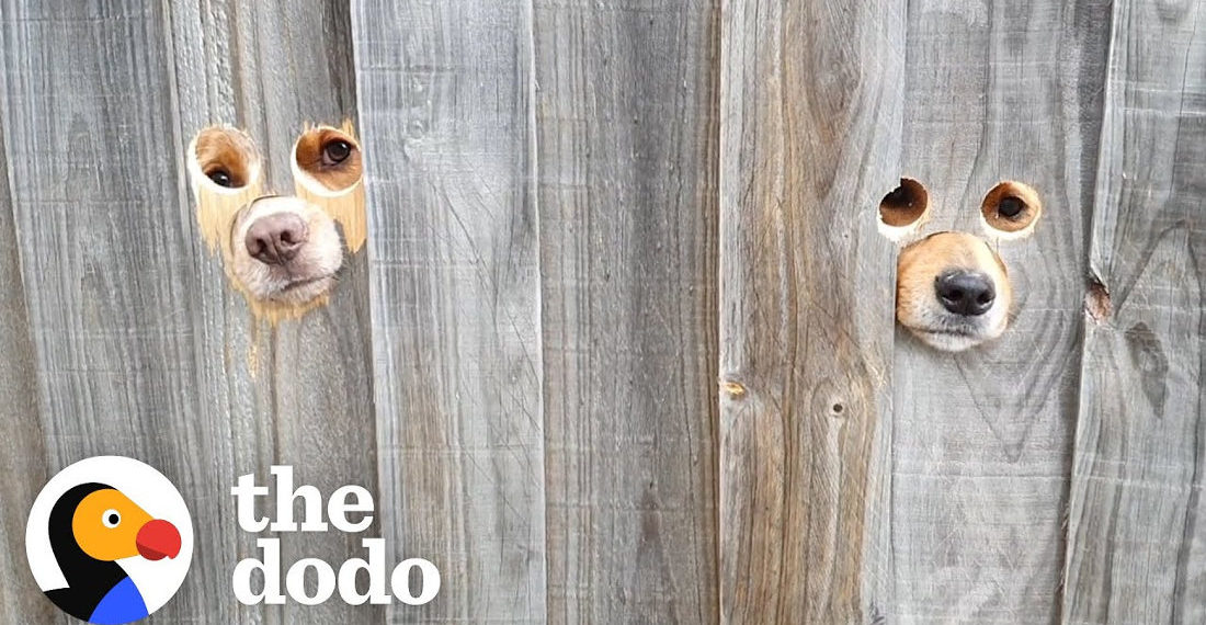 Dog Dad Cuts Eye And Snout Holes In Fence So Dogs Can Greet Mom When She Gets Home