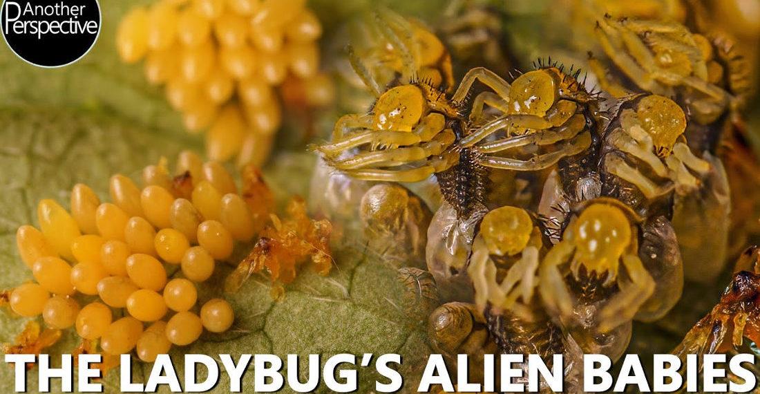 Aliens!: A Macro Timelapse Of Ladybugs Hatching