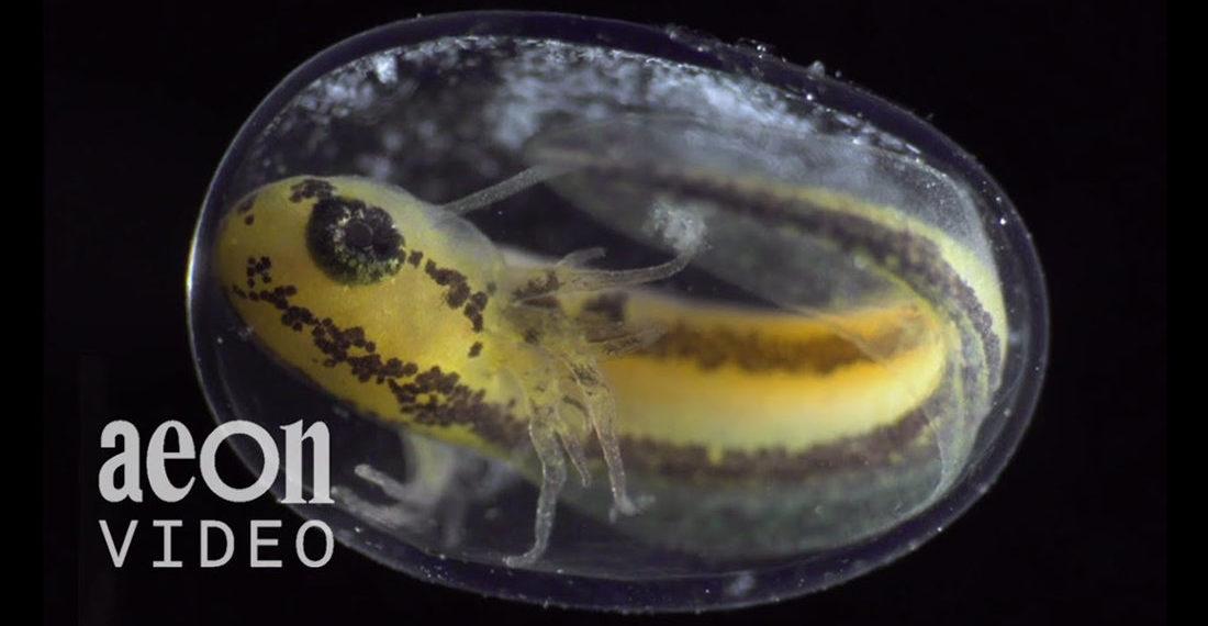Stunning Timelapse Of Fertilized Newt Egg's Transformation Into Tadpole