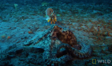 There Can Be Only One: Octopus Vs Mantis Shrimp