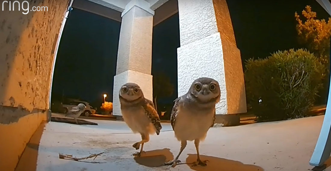 Owls Throw After-Hours Party On Home's Porch