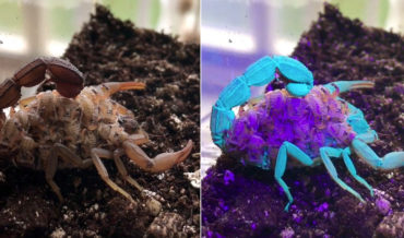 Video Of Scorpion With Babies On Its Back Glowing Blue And Purple Under Blacklight