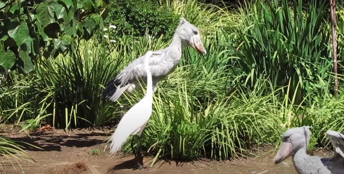 Shoebill Stork's Bill-Clattering Sounds Like A Machine Gun