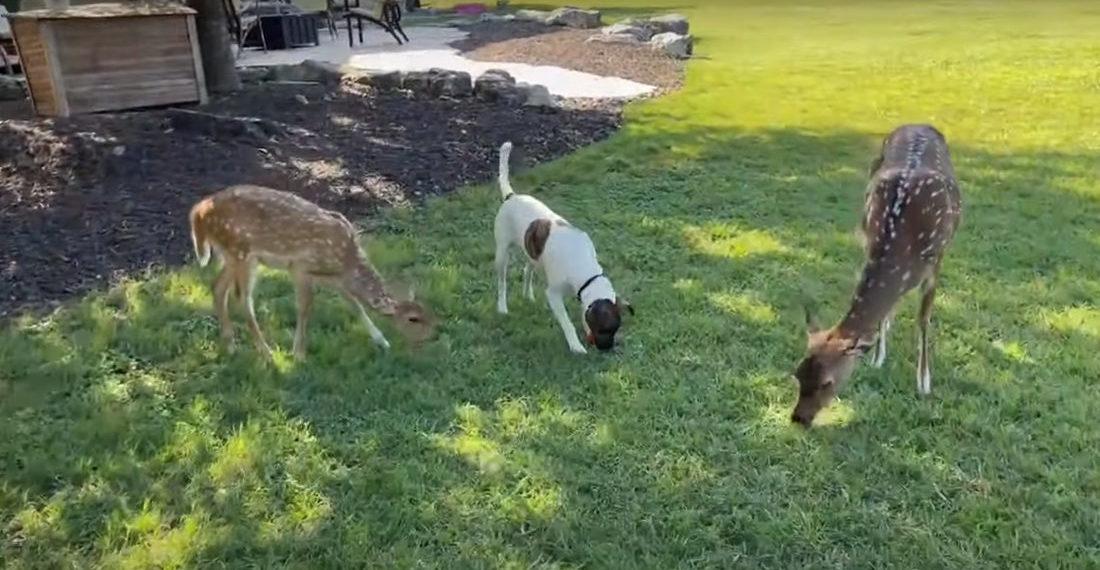 Dog Grazes On Grass With Deer Friends