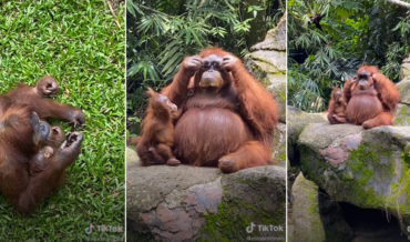 Orangutan Tries On Sunglasses Accidentally Dropped At Zoo