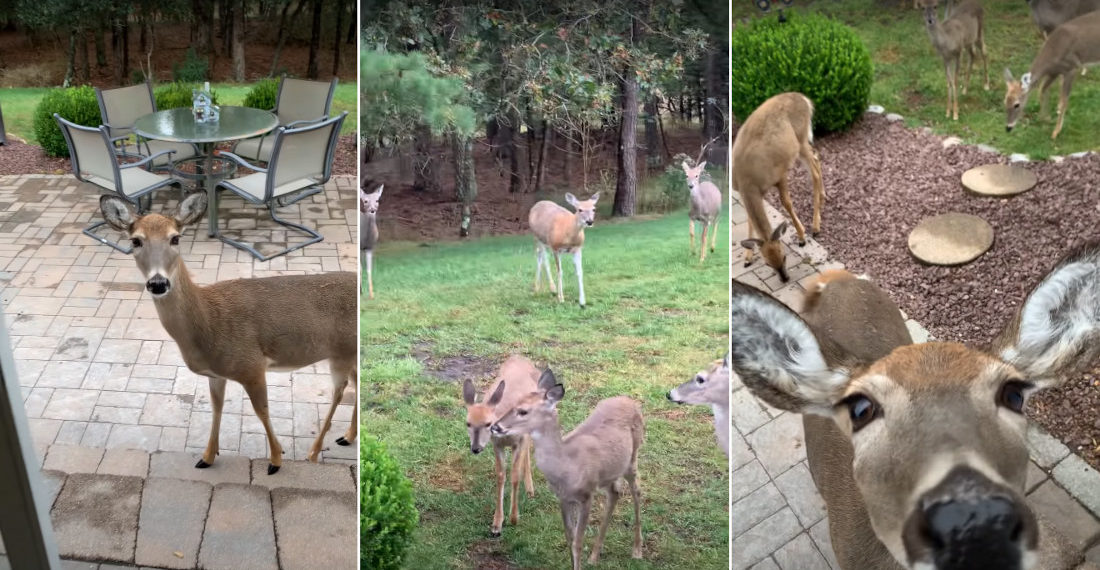 Deer Herd Comes To Visit Woman On Back Patio