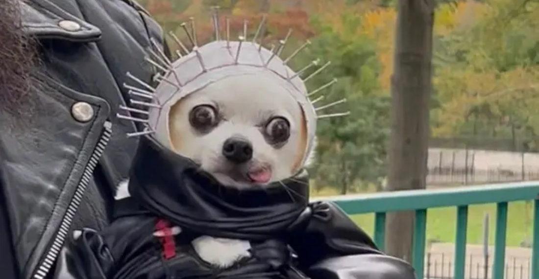 Little Dog's Adorable Hellraiser Halloween Costume