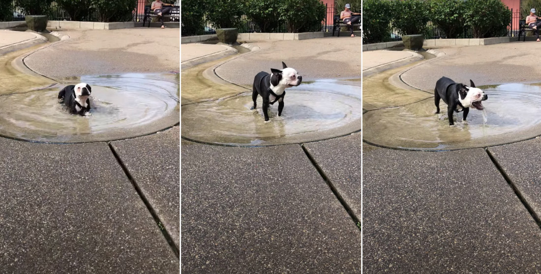 Dog Drinks Too Much Water At The Park