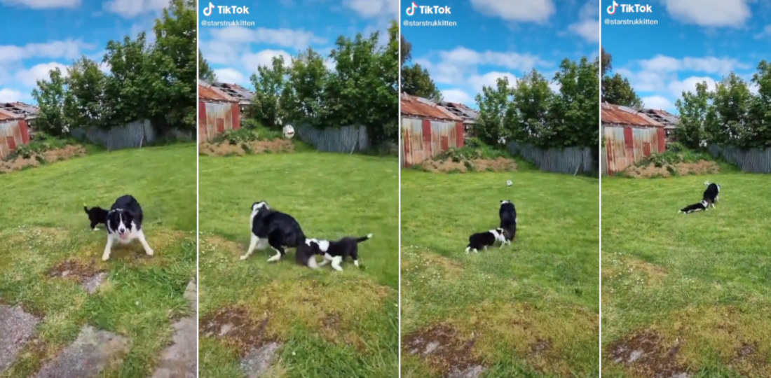 Dog Chases Ball Towing Playful Puppy Biting Its Tail
