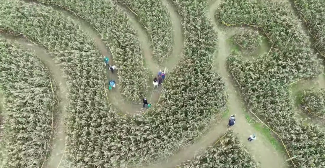 Drone Footage Of People Trying To Find Their Way Out Of A Corn Maze