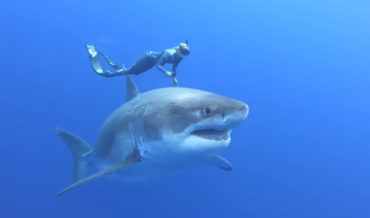 Swimming With A 20-Foot Long, 8-Foot Wide Great White Shark