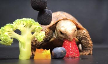 ASMR Video Of Little Tortoise Eating Fruits And Veggies